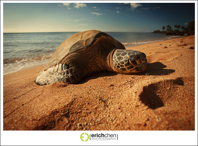 Turtle on a Beach in Hawaii